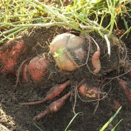 Prolonging Your Harvest:  How to Store Potatoes